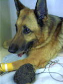 Xaros in ICU. The wires are EKG leads, the yellow bandage is holding his IV.